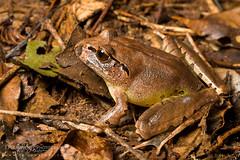 Fleay's Barred Frog (J.P. Lawrence Photography) Tags: australia 2016 vertebrates myobatrachidae mixophyes fleayi spring travel amphibians anura amphibia amphibian anuran australia2016 fleaysbarredfrog frog frogs herp herpetology herps mixophyesfleayi salientia spring2016 vertebrata vertebrate