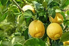 Florentine Lemon 02 (MJWoerner49) Tags: fruit lemon citrus sour tropicalfruit tropicalfruits cannero fruitsfood southernfruit florentinelemon