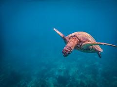 Green Sea Turtle, Maui, Hawaii (Michael Riffle) Tags: ocean summer fish hawaii snorkel pacific turtle maui snorkeling reef seaturtle coralreef greenturtle wailea makena greenseaturtle 2016 turtletown michaelriffle