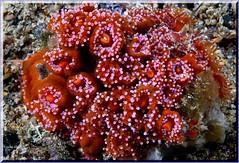 Anenomes tg (LoxPix2) Tags: loxpix australia underwater fish fiji vanuatu shark noumea cairns ascidian sponge