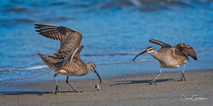 Let me help with that! (craig goettsch) Tags: salinasrivernwr whimbrel sandcrab chase bird avian beach ocean sand water nikon d750 850mm 14extender morning california montereypeninsula ngc npc let me help with that springtrip2016whimbrel smugmugproofs