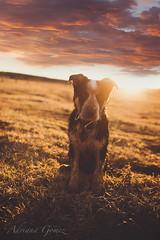 Cash (Adriana Gomez Photography) Tags: sunset dog pets cute outdoors mixedbreed heeler jessicadrossin adrianagomez