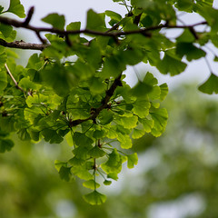 Green Ginko (Bloui) Tags: tree green leaves square spring montral cemetary may qubec ginko 2016 cimetiremontroyal eos7d