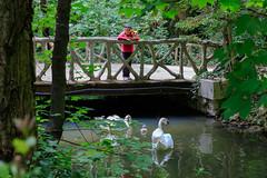 puente y cisnes (phooneenix) Tags: cisnes puente swans bridge