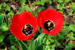 Red tulips (Irina Falina) Tags: flowers red two plant flores macro green nature netherlands colors field gardens closeup out outdoors leaf day blossom background petal flowerbed growth tulip blossoming horticulture springtime individuality