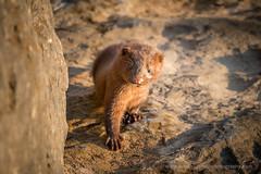 Mink Kit 3 (BradleyPSmithPhotography) Tags: 2016 fhbsp beach camping fairhaven fairhavenbeachstatepark june lake lakeontario longexposure ny park statepark sunset water mink kits animals baby wildlife