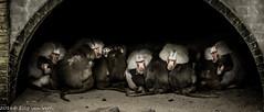 Dierenpark amersfoort--3 (ellyvveen) Tags: nederland gelderland landen dierenparkamersfoort mantelbaviaan dierentuindieren