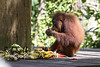 Rehabilitated Orangutan (robsall) Tags: travel vacation mammal malaysia borneo 7d orangutan canoneos 70200 sabah sepilok orang rehab orangutans pongopygmaeus sandakan orangs canon70200mm sepilokorangutanrehabilitationcentre rehabcenter canon7020028 sepilokorangutanrehabilitationcenter canoneos7d canon7d canon70200mmf28isiiusm robsall robsallphotography 7dmarki
