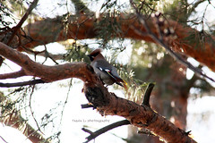 Waxwing (grce) Tags: bird nature pinetree bokeh waxwing avifauna bombycillagarrulus  birdonbranch