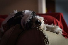 Nap Time (guido1515) Tags: light red dog pet puppy soft nap sleep teeth shih tzu indoor canine sofa blanket aww gizmo available lay