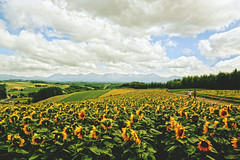 Sunflower Fields in Summer (Amanda Mabel) Tags: summer flower nature japan landscape hokkaido surreal sunflower 北海道 日本 dreamy furano 向日葵 flowerfield 夏天 sunflowerfield ethereality amandamabel