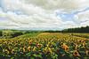 Sunflower Fields in Summer (Amanda Mabel) Tags: summer flower nature japan landscape hokkaido surreal sunflower 北海道 日本 dreamy furano 向日葵 flowerfield 夏天 sunflowerfield ethereality amandamabel