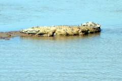A crocodile in Luangwa River