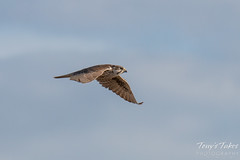 Prairie Falcon flyby sequence - 6 of 8