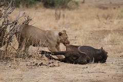 Lion With Cape Buffalo (naturelover2007) Tags: africa nature tanzania kill lion magicmoments waterbuffalo capebuffalo tarangirenationalpark wowiekazowie faunainmotion naturelover2007