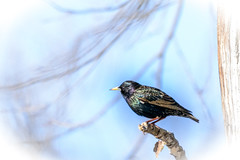 StarlingBright (jmishefske) Tags: park county bird wisconsin march nikon downtown branch starling milwaukee lakepark 2015 d800e