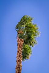 Who Has Seen The Wind? (skram1v) Tags: california palmtrees palmdesert severewind desertconditions feb2015