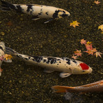 鯉と紅葉 / Autumn Leaves on Koi Pond thumbnail