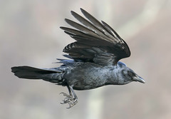 American crow (Corvus brachyrhynchos) (phenix) Tags: bird pond nikon ngc flight crow becks ff bif americancrow 80400mm d800e