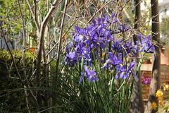 Festa di primavera-1 (Anfora di Cristallo) Tags: flowers iris primavera spring natura fiori