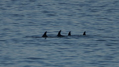 Four Dolphins, Isle of Mull. (nickjmcelroy) Tags: dolphins firth lorne firthoflorne