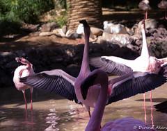 Dance of the flamingos (derena_d.) Tags: birds giant zoo stand big spain december many flamingo flock flamingos leader tall canaryislands lots touristattraction colony alot regiment leaderofthepack 2014 flamboyance oasispark fuertenventura danceoftheflamingos