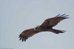 Black kite (S Sanjay Iyer) Tags: birds flickr cannanore