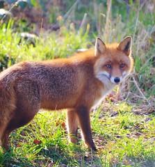 Red Fox (Michelle O'Connell Photography) Tags: wild scotland fife wildlife fox ginge redfox cupar vulpes scottishdeercentre bowoffife michelleoconnellphotography