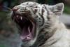 White Tiger Cub (Sandra Wildeman) Tags: nikon tiger tijger tigre pantheratigris amnéville wittetijger tigreblanco whitetigercub tigreblanc d5300 zoodamneville tijgerwelpjes