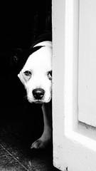 Strange observation, Oxford (Swiss.Piton (BH&SC)) Tags: turftavernoxford dog rx100m2 blackandwhite schweizerphotographen schwarzundweiss niceshot noiretblanc england ox1 door ibringmycameraeverywhere bw justmeandmycamera turftavern oxford streetsdogs black white 白黒 mono bnw