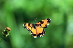 Natural (Jonathan Carias e Sil Manu) Tags: brazil bird brasil butterfly natural natureza fotografia pssaros mata borboletas vegetao amaznia brasi
