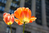 Larger than Life (Andy Marfia) Tags: flowers windows orange chicago abstract building nature yellow architecture 35mm iso100 spring tulips cityhall columns f28 daleyplaza 11600sec d7100
