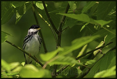 blackpoll warbler (Christian Hunold) Tags: bird philadelphia warbler songbird schwarzkopf johnheinznwr woodwarbler blackpollwarbler christianhunold