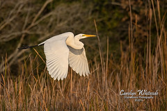 White Egret in Fall