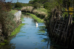swan on the river yar (ben cairns) Tags: blue white green nature river swan view wildlife isleofwight yarmouth muteswan gabions 55300 nikkor55300 nikond5200 westernyar