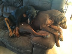 I Am So In Love With You - Dobermann Pinscher Gabbana Resting On Sleeping Zeus (firehouse.ie) Tags: red dog brown black male dogs female tan zeus doberman pinscher gabbana dobermann dobermans pinschers dobermanns