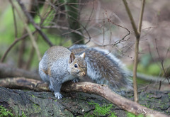 Sciurus carolinensis (Serthra) Tags: cute nature animal fauna forest squirrel squirrels outdoor greysquirrel canoneos5dmarkii canon5dmark2