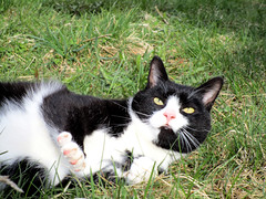 (SofiDofi) Tags: trip cute norway cat fun outdoors norge furry feline sweet may kitty friendly lofoten reine playful furball nordnorge chunky lofotenislands nordland catchmeifyoucan moskenes rollingaround spring2016 ninemonthsupnorth ninemonthsinthenorth