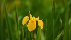 Elégance 20-04 (ΨᗩSᗰIᘉᗴ HᗴᘉS +23 000 000 thx) Tags: flower fleur yellow jaune plante europa flickr belgium sony ngc namur hens yasmine wallonie élégance pureté iamflickr flickrunitedaward sony7 hensyasmine