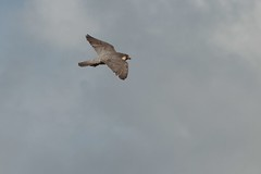 IMG_4640 (gipukan (rob gipman)) Tags: male tower female eos toren 7d kuikens slechtvalk olv langejan preybird canon24105lis tokina116