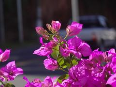 DSC04535 (familiapratta) Tags: flowers flores flower nature iso100 sony natureza flor hx100v dschx100v