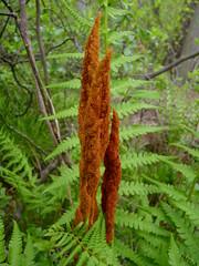 Cinnamon Fern (Dendroica cerulea) Tags: plant fern green newjersey spring nj matawan cinnamonfern pteridophyta cheesequakestatepark middlesexcounty osmundaceae pteridopsida polypodiopsida osmundales osmundastrumcinnamomeum