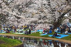 under the cherry trees (philippe*) Tags: park trees japan tokyo sakura yoyogi hanami