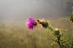 Foggy Mountain Thistle (Ed Rosack) Tags: sky usa mist flower fog virginia thistle bigmeadows shenandoahnationalpark edrosack