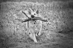 Lola (juanmartinez81) Tags: dog pets dogs germanshepherd alsatian gsd germanshepherddog