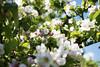 Apple Blossom, Lohja 8