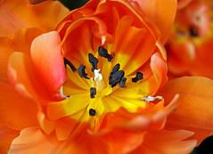 in the hand a sulphur match (eepeirson) Tags: tulip flamenco flamencodancer flame fieryrapture triumphant passion wildabandon rainermariarilke