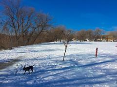 and Yet there was white stuff around (lezumbalaberenjena) Tags: winter dog chien white snow ontario canada boston ottawa nieve perro terrier bully niege hiber