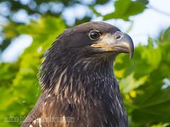 Juvenile Bald Eagle (Mike Black photography) Tags: new black bird mike nature canon lens is eagle birding bald nj shore jersey l usm 600mm 5ds