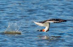Success (b88harris) Tags: orange white fish black bird beach water sunshine bay flying seaside fishing nikon waves feeding ngc sunny 300mm npc shore nikkor skimmer ocea specanimal d7200
